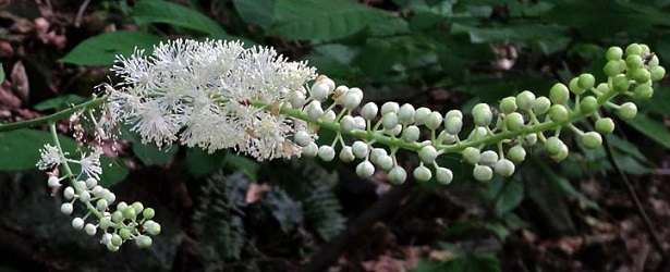 Treating Insomnia With Black Cohosh